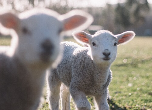 two lambs, closest one not in focus